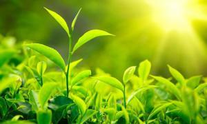 5 cách sử dụng trà xanh cho da mặt sáng hồng