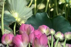 Chả cánh hoa sen - món ngon của người Hà Nội! Bạn đã thử chưa?